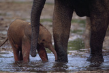 An Mother and Baby Forest Elephant (Loxodonta Africana Cyclotis) Cool Off in a Water Hole