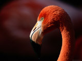 A Portrait of a Captive Greater Flamingo