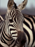 A Close View of a Plains Zebra
