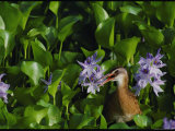 A Bird Peaks out of the Purple Gallinules