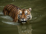 A Captive Sumatran Tiger Takes a Cooling Dip in the Water