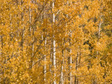 Aspens Showing Autumn Color on a Sunny Day