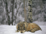 Gray Wolf in the New-Fallen Snow at the International Wolf Center