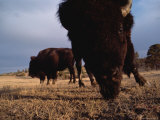 American Bison Grazing at the Seven W Ranch in Montana