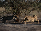 A Pair of African Cheetahs Chase Each Other Around a Tree