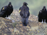 Three Juvenile California Condors Perch on a Rock