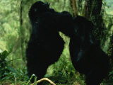 Two Gorillas Confront Each Other