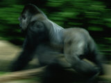 A Silverback Gorilla Runs Past the Crowds at the Zoo Atlanta