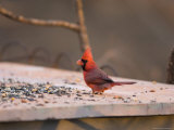 A Northern Cardinal (Cardinalis Cardinalis) Finds an Afternoon Snack