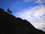 A Juvenile Dalls Sheep Climbs the Terrain of Alaska