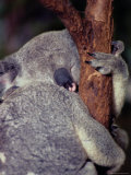 A Sleeping Koala Hugs a Branch