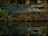 A Close View of an Endangered American Crocodile