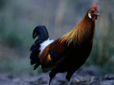 Close View of a Junglefowl