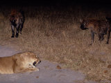 A Lioness Being Threatened by a Band of Spotted Hyenas