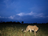 A Lone African Cheetah Prowls Through the Grass as Night Falls