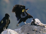 Juvenile  Endangered California Condors Pick Away at a Calf Carcass