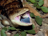 A Blue-Tongued Skink