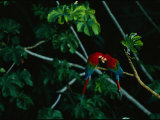A Mated Pair of Red-And-Green Macaws Exhibit Bonding Behavior