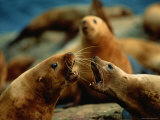Two Steller Sea Lion Cows Argue over Territory
