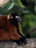 A Portrait of a Captive Red-Ruffed Lemur