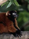 A Portrait of a Captive Red-Ruffed Lemur