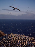 Northern Gannet in Flight over a Rookery