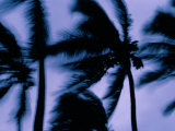 Silhouetted Palm Trees Blow in the Wind
