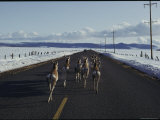 Pronghorn Travel a Road to Avoid Heavy Snow