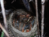 A Robins Nest Nestled in a Tree Holding Four New Chicks