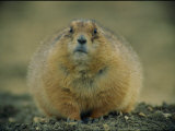 A Close View of a Fat Black-Tailed Prairie Dog