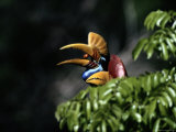A Female Red-Knobbed Hornbill Eats a Fig