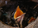 American Robin Chick in Nest