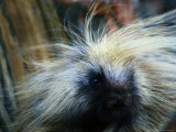 A Close-up of a Porcupine