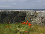 Denmark  Christians Oe Island  Poppy Flowers Granite Wall