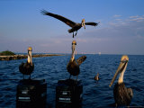 Brown Pelicans Perched on Outboard Motors