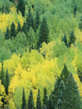 A View Across a Forest of Quaking Aspen and Evergreen Trees