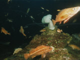 Fish Swim Around White Plumose Anemones (Metridium Senile)