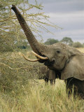 An African Elephant Uses its Trunk to Reach into a Tree
