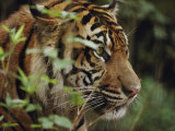 A Sumatran Tiger in the Asian Domain Exhibit
