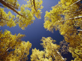 View Straight up at the Sky Through a Golden Canopy of Aspen Trees