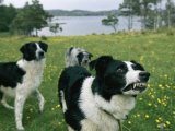 Sheepdog Snarls at the Photographer