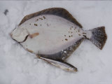 Herring and Flounder Lay on the Snow