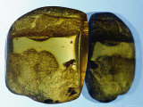 Amber Containing N Fossilized Insect