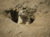 A Prairie Dog Pops out of His Burrow to Check out the World