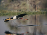 A Painted Stork Flys Low over the Water with a Stick in its Beak