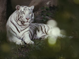 A Rare White Tiger at the Cincinnati Zoo