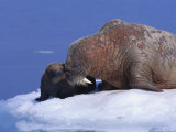 An Atlantic Walrus Smells Her Young Pup