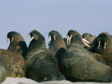 Atlantic Walruses Often Gather Together on Ice Floes for Protection in Numbers