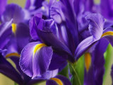 Close View of Irises