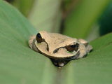 A Tree Frog Hides on a Plant Leaf